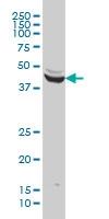 ENO3 Antibody | 5D1 gallery image 4