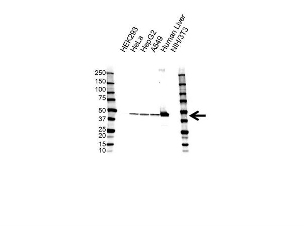 EPHX1 Antibody (PrecisionAb<sup>TM</sup> Antibody) | 2D8 gallery image 1