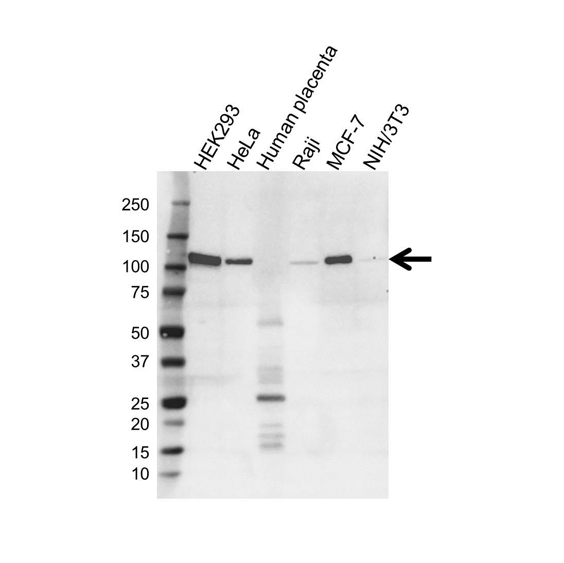 Eplin Antibody (PrecisionAb<sup>TM</sup> Antibody) | OTI1A3 gallery image 2