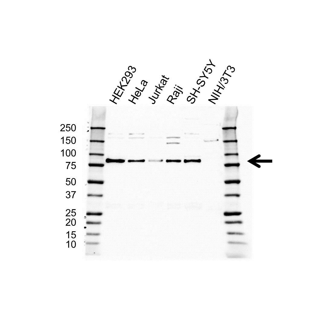 EPN1 Antibody (PrecisionAb<sup>TM</sup> Antibody) gallery image 1