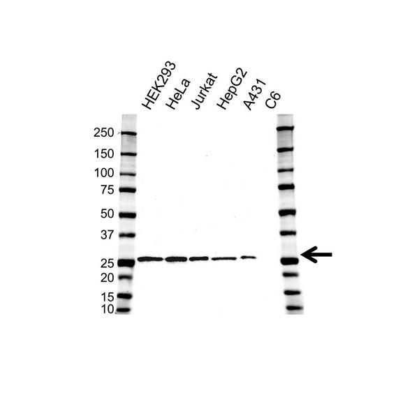 ERAB Antibody (PrecisionAb<sup>TM</sup> Antibody) | OTI5E2 gallery image 1