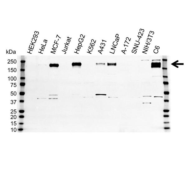 ErbB3 Antibody (PrecisionAb<sup>TM</sup> Antibody) gallery image 1