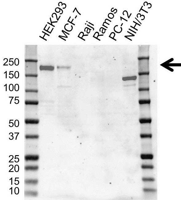 ErbB4 Antibody (PrecisionAb<sup>TM</sup> Antibody) | 3A10 gallery image 1