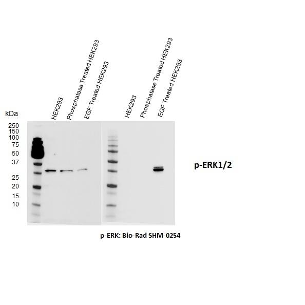 Erk / MAPK (pThr202/pTyr204) Antibody | F04-4G10 gallery image 1