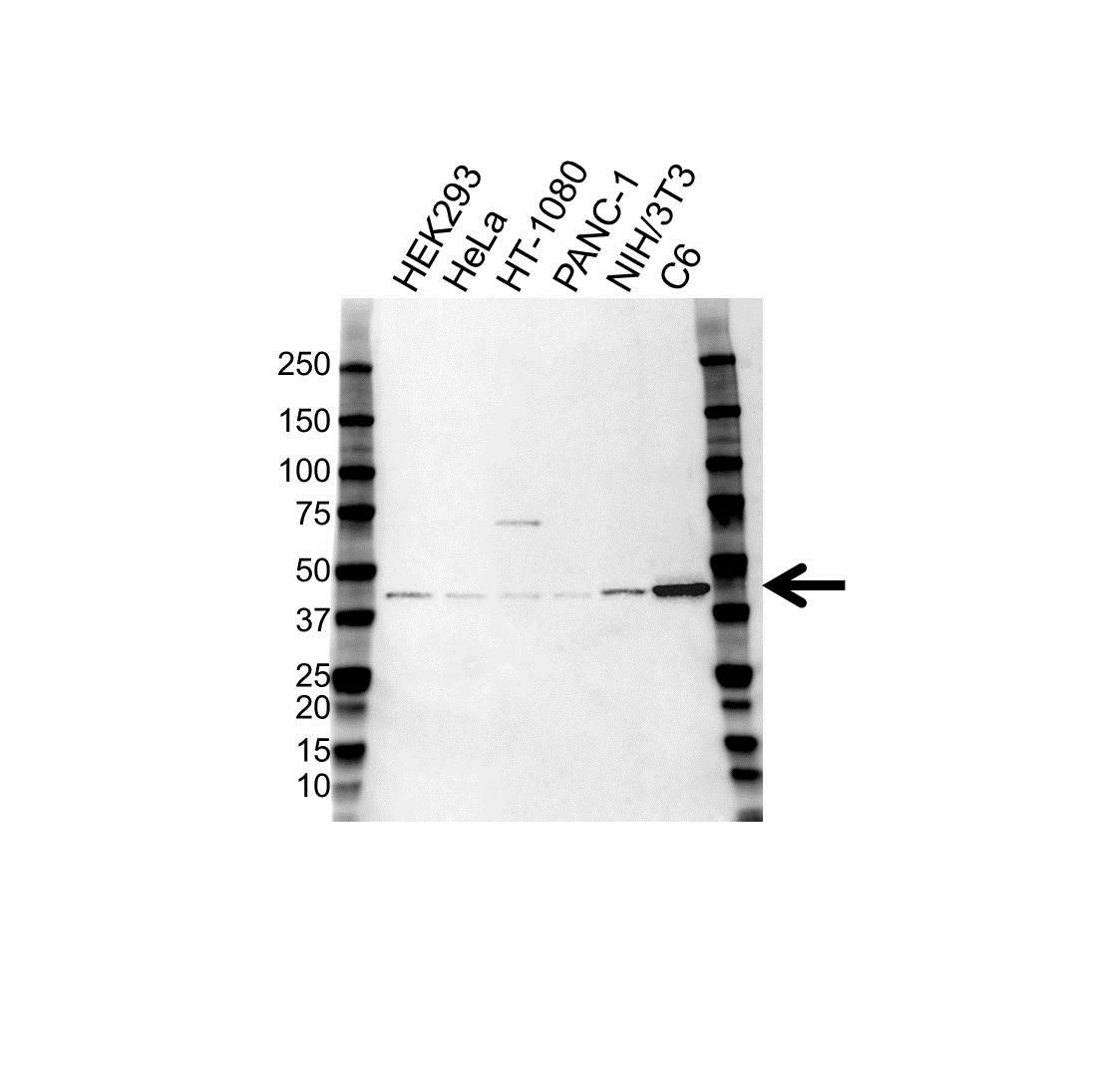 ERK1 Antibody (PrecisionAb<sup>TM</sup> Antibody) gallery image 1