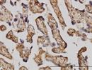 ERK1 Antibody   3C9 thumbnail image 3