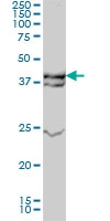 ERK1 Antibody | 3C9 gallery image 1