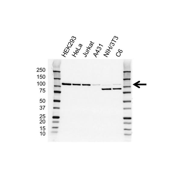 ERK5 Antibody (PrecisionAb<sup>TM</sup> Antibody) | OTI3D4 gallery image 1