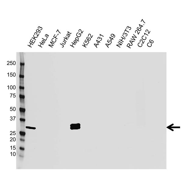 Estrogen Sulfotransferase Antibody (PrecisionAb<sup>TM</sup> Antibody) gallery image 1