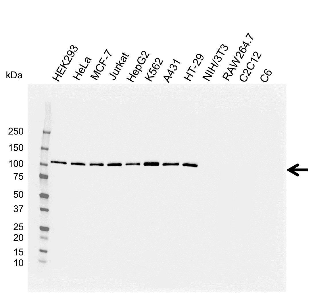 EXPORTIN-1 Antibody (PrecisionAb<sup>TM</sup> Antibody) gallery image 1