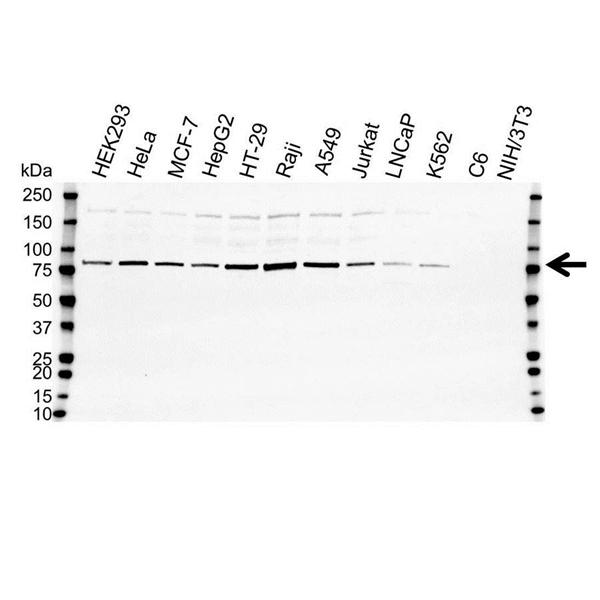 Ezrin Antibody (PrecisionAb<sup>TM</sup> Antibody) gallery image 1