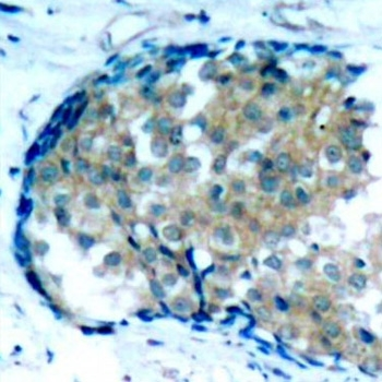 Ezrin (pTyr353) Antibody gallery image 2