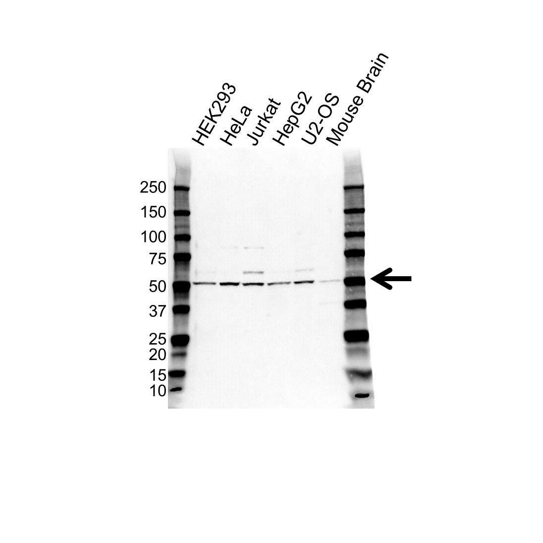 FAF2 Antibody (PrecisionAb<sup>TM</sup> Antibody) gallery image 1