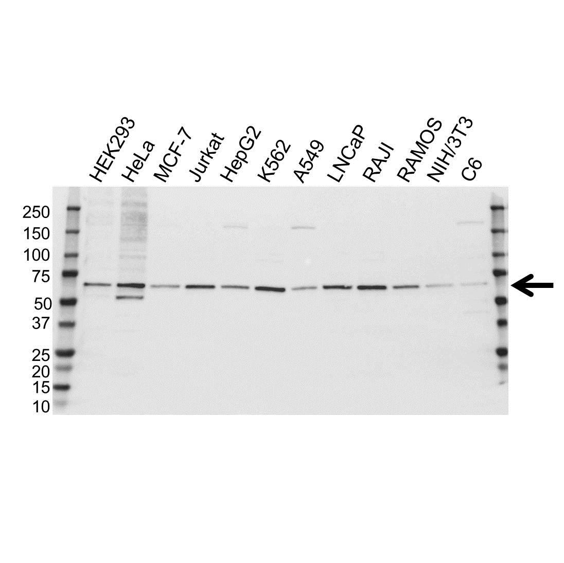 FANCG Antibody (PrecisionAb<sup>TM</sup> Antibody) gallery image 1