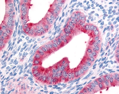 FAP Alpha Antibody gallery image 1