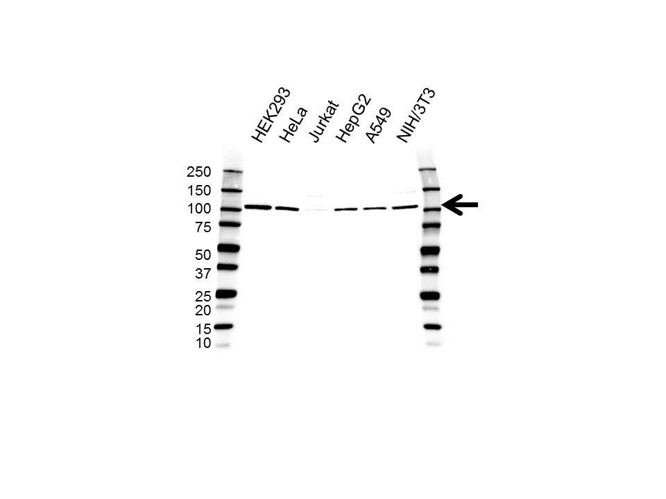 FCP1 Antibody (PrecisionAb<sup>TM</sup> Antibody) gallery image 1