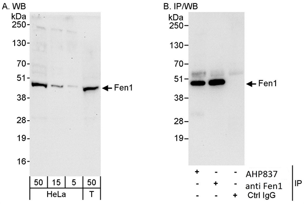 FEN1 Antibody gallery image 1
