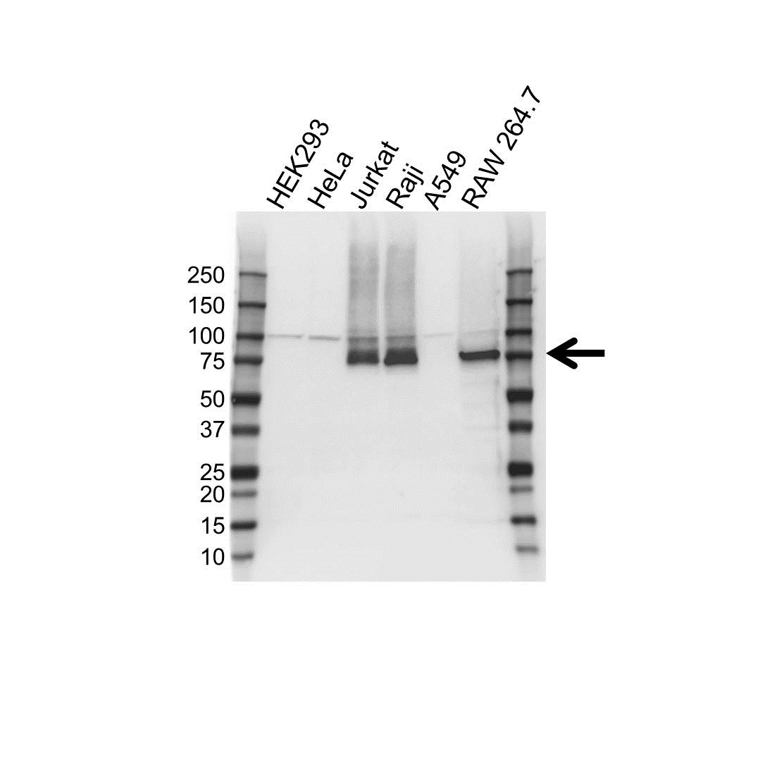 FERMT3 Antibody (PrecisionAb<sup>TM</sup> Antibody) | OTI2G2 gallery image 1