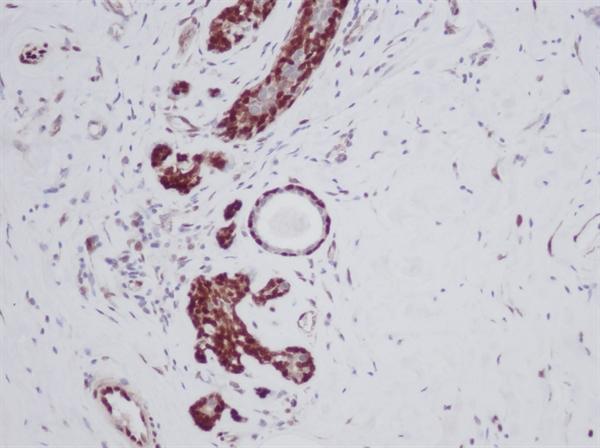 FGF Basic Antibody gallery image 2