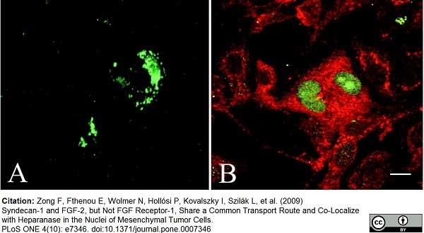 FGF Basic Antibody | MC-GF1 gallery image 2