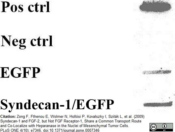 FGF Basic Antibody | MC-GF1 gallery image 1