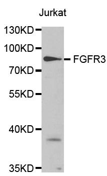 FGFR3 Antibody gallery image 1