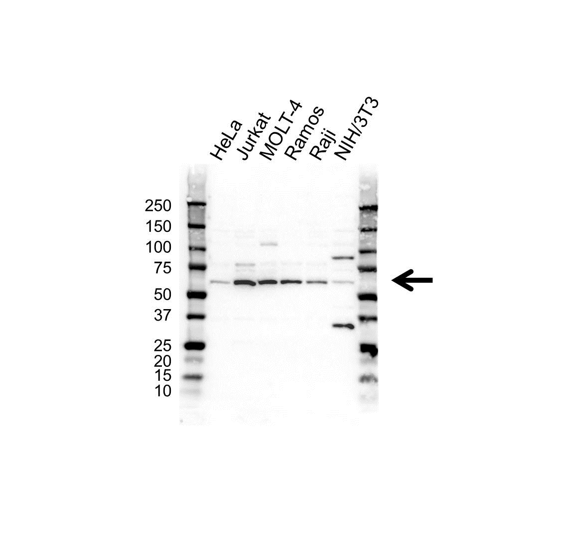 FGR Antibody (PrecisionAb<sup>TM</sup> Antibody) gallery image 1