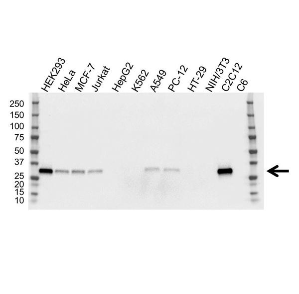 FHL1 Antibody (PrecisionAb<sup>TM</sup> Antibody) | OTI2E11 gallery image 1