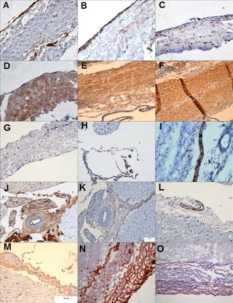 Fibroblasts/Epithelial Cells Antibody | D7-FIB gallery image 2