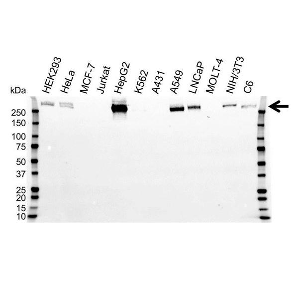 Fibronectin Antibody (PrecisionAb<sup>TM</sup> Antibody) gallery image 1