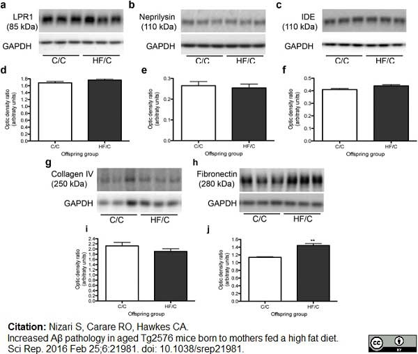 Fibronectin Antibody | EP5 gallery image 2