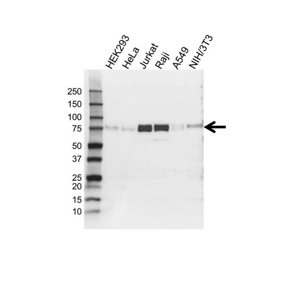 FIP1L1 Antibody (PrecisionAb<sup>TM</sup> Antibody) gallery image 1