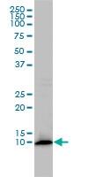 FKBP1A Antibody | 1E5-A12 gallery image 1