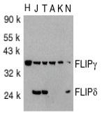 FLIP Gamma/Delta Antibody gallery image 1