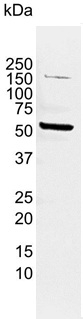 FLIP L Antibody | 2F12 gallery image 3