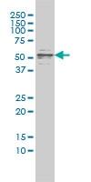 FLIP L Antibody | 2F12 gallery image 2
