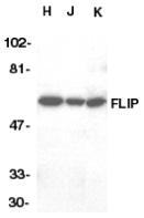 FLIP L Antibody gallery image 1