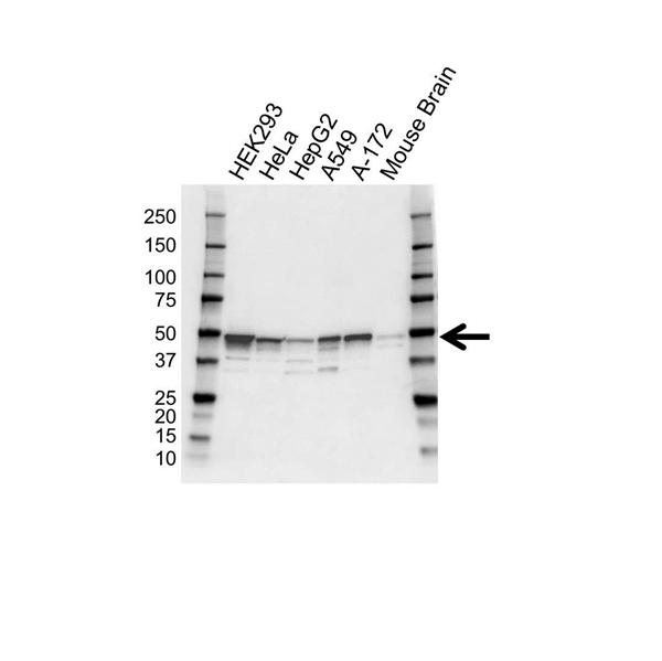 FLOTILLIN-2 Antibody (PrecisionAb<sup>TM</sup> Antibody) gallery image 1