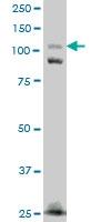 FNDC3A Antibody | 2H4 gallery image 1
