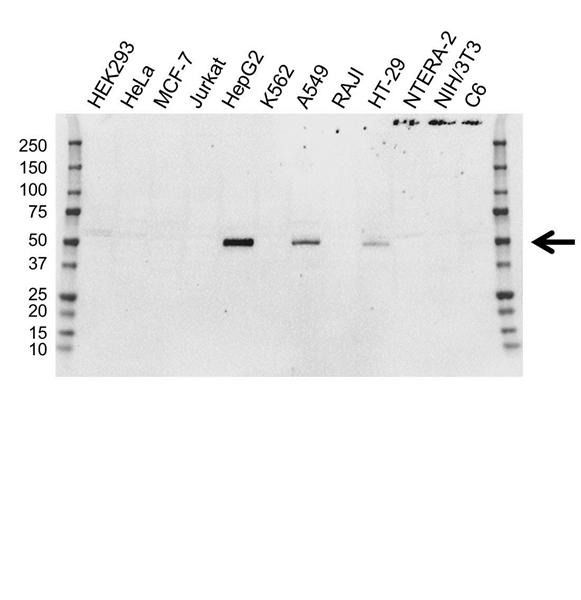 FOXA2 Antibody (PrecisionAb<sup>TM</sup> Antibody) | 3C10 gallery image 1