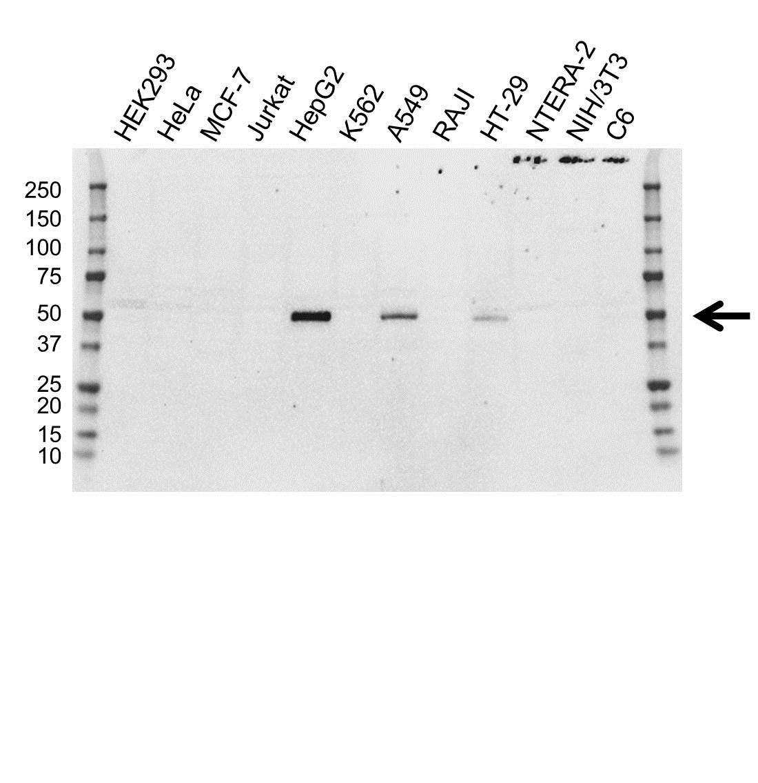 FOXA2 Antibody (PrecisionAb<sup>TM</sup> Antibody) | OTI3C10 gallery image 1