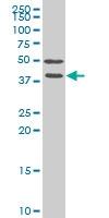 FRZB Antibody | 4E5 gallery image 1
