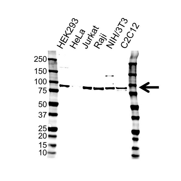FUSE-Binding Protein 2 Antibody (PrecisionAb<sup>TM</sup> Antibody) gallery image 1
