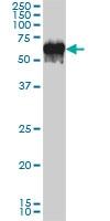 G3BP Antibody | 2F3 gallery image 3