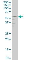 GABPA Antibody | 5C8 gallery image 1