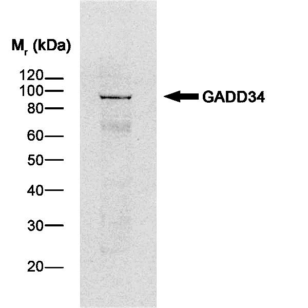 GADD34 Antibody gallery image 1