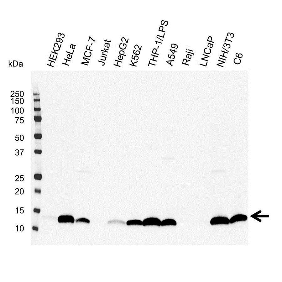 Galectin-1 Antibody (PrecisionAb<sup>TM</sup> Antibody) gallery image 1