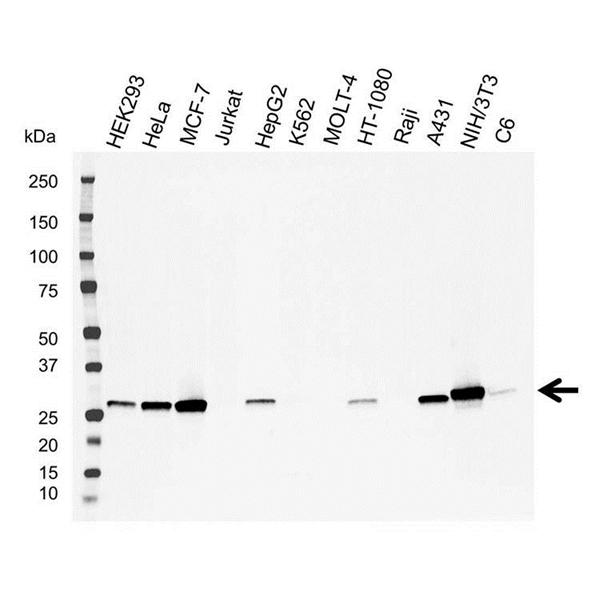 Galectin-3 Antibody (PrecisionAb<sup>TM</sup> Antibody) gallery image 1