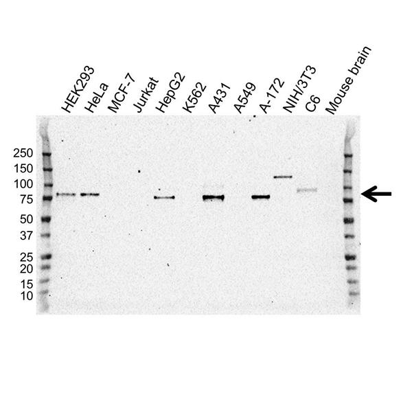 Galectin-3 Binding Protein Antibody (PrecisionAb<sup>TM</sup> Antibody) | OTI2B1 gallery image 1