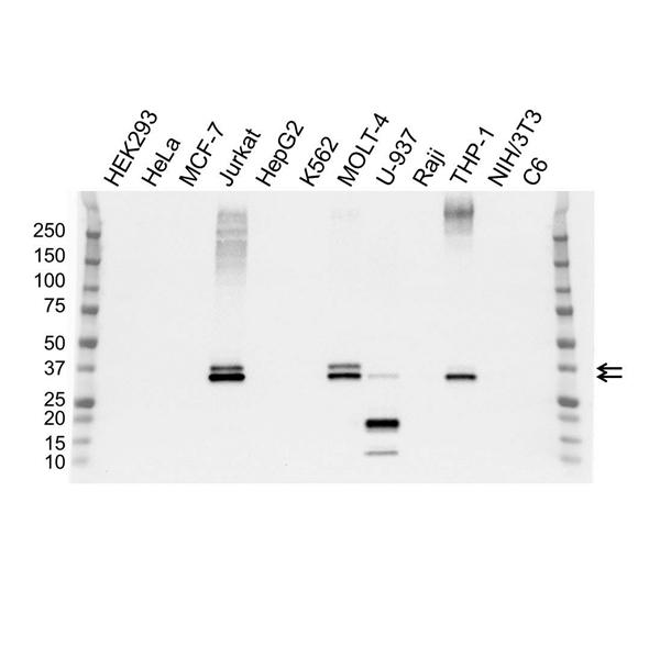 GALECTIN-9 Antibody (PrecisionAb<sup>TM</sup> Antibody) | OTI1G3 gallery image 1